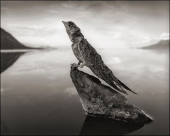 deadly-lake-in-tanzania-calcifies-animals-swallow-02Nick+Brandt