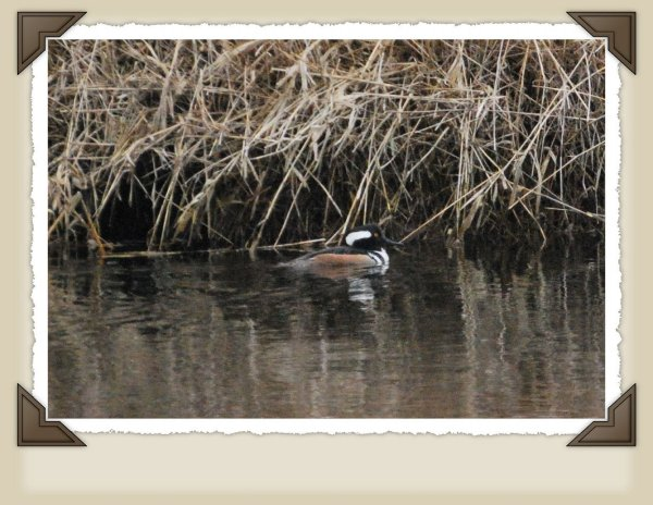 Drake Hooded Merganser.