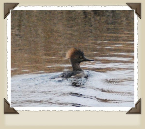 Hen Hooded Merganser.
