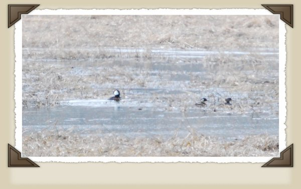 Group Of Mergansers. One with hood up.