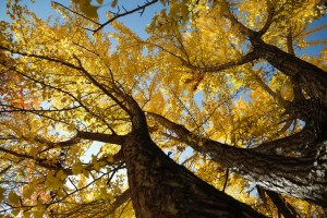 gingko-and-sky
