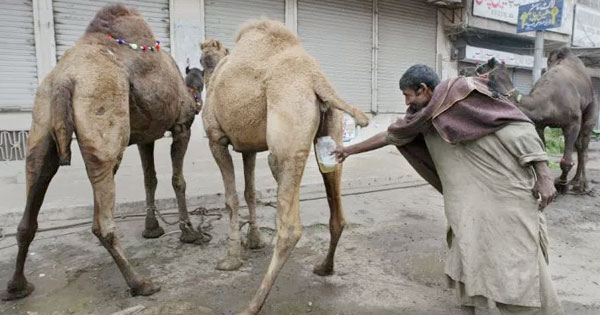 Drinking camel urine is reputed to have many health benefits but sperm is not known to have any curative powers admit experts.