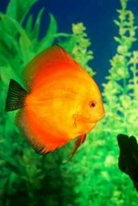 Discus fish Symphysodon spp. in aquarium, calming home office