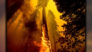 KNP Complex Wildfires - Sequoias Killed
