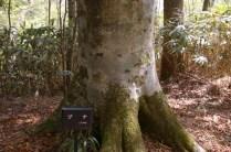 フナの木肌