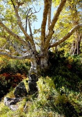 面白い形のブナの木。