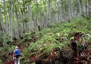 ⑦森の清水のブナ林