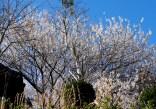 63 カンザクラが咲いてました。