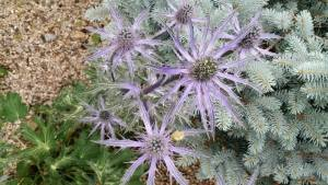 Eryngium Blue Sea Holly