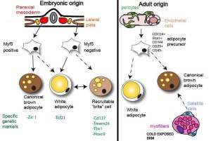 Overview of embryonic and adult origin of brown, brite and white adipocytes indicating the specific cellular genetic markers.