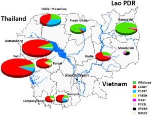 Several different mutations in the kelch gene circulate across Cambodia but are largely absent in the northeast part of the country where there is no artemisinin resistance. <a href=http://www.nature.com/nature/journal/v505/n7481/fig_tab/nature12876_SF2.html>doi:10.1038/nature12876</a>