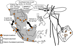 Using maps of historical sea-levels in Southeast Asia and DNA sequencing we can reconstruct the mosquito population history for the last million years. Geography, climate and sea-levels have all had a large effect on the current species distribution and diversity.