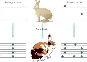Domestication is driven by small changes in many genes. Figure from companion paper,  '<a href=http://www.sciencemag.org/content/345/6200/1000/F1.expansion.html>On the origin of Peter Rabbit</a>'. Credit:  P. Huey/Science