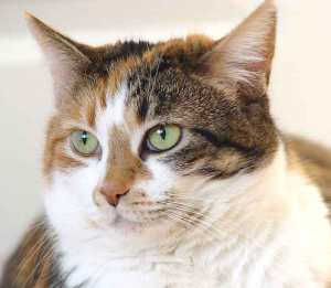 Mosaicism in calico cats gives them their distinctive three-colour. Credit: Howcheng, Wikipedia Commons