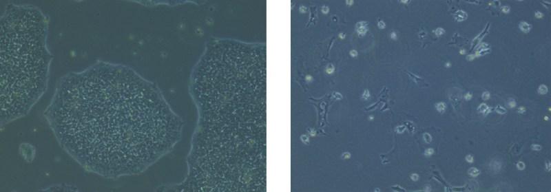 Stem-cells-to-Microglia