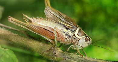 Roesel's Bush Cricket: The trouble with crickets and their ever increasing genomes... Image: Richard Bartz, Wikimedia Commons