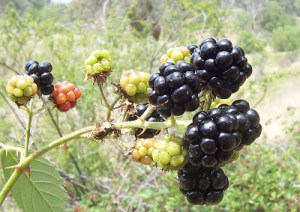 There 300+ species of blackberry - and telling them apart can literally take years of observation. Image credit: Fir0002, Wikimedia Commons