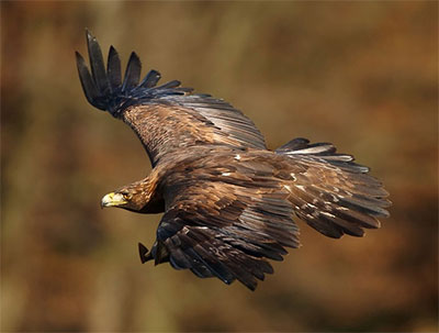 Golden Eagle - the first UK species to have its DNA read by the Sanger Institute as part of its 25 genomes for 25 years project. Image credit: Martin Mecnarowski, Wikimedia Commons.