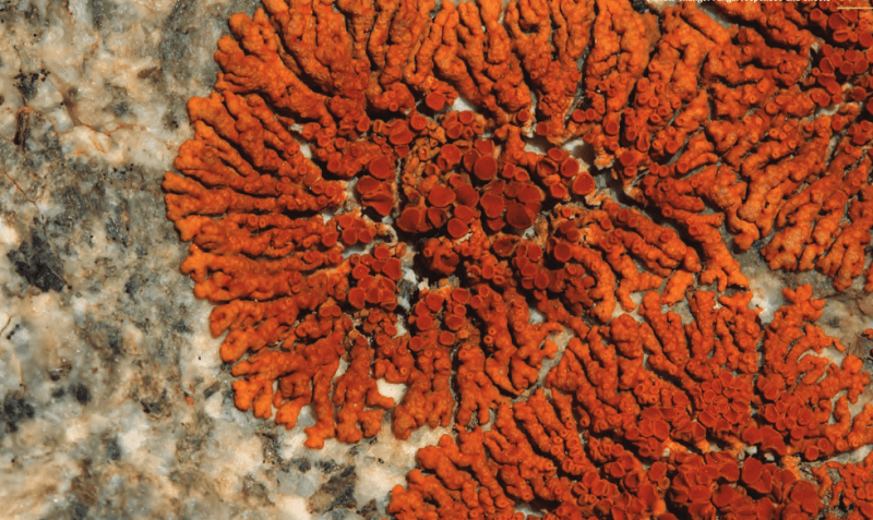 Dr. Gaya is particularly interested in the genomes of these lichenised fungi – whose orange pigment acts like a sunscreen, protecting them from UV damage and allowing them to grow in some of the driest places on Earth