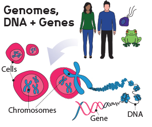 In every cell is a complete DNA blueprint for making our bodies, using genes