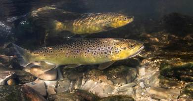 Fishing for answers in the brown trout genome