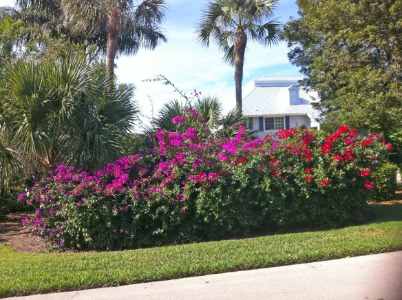 Bougainvillease abloom in Seagull Estates