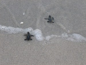 SCCF photo of turtle hatchlings heading to gulf