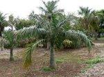 buccaneer palm