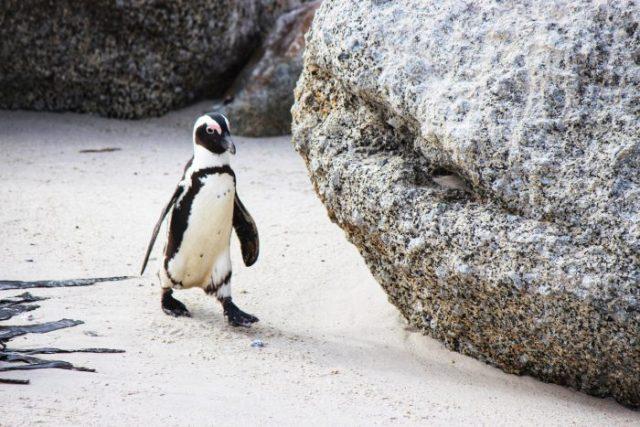 african jackass penguin boulders beach simons town cape town