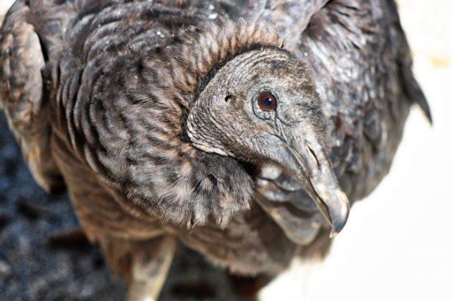 Seaside Seabird Sanctuary Vulture