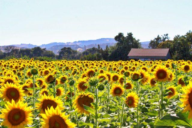 Fairfield Sunflower Field