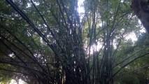 Bamboo Groves