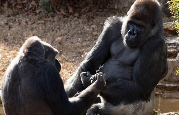 Dos gorilas con coronavirus en un zoológico, primeros casos conocidos en estos mamíferos
