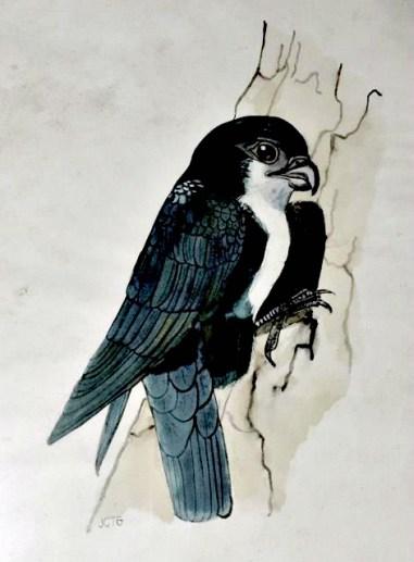 Philippine Falconet