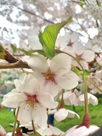 japan-cherry-blossoms-4