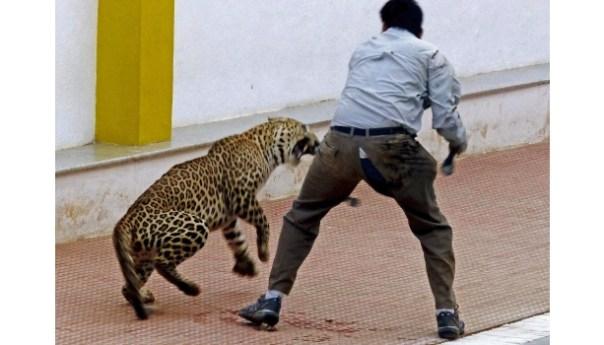 Se escapa nuevamente el leopardo que atacó a 6 personas en escuela de India