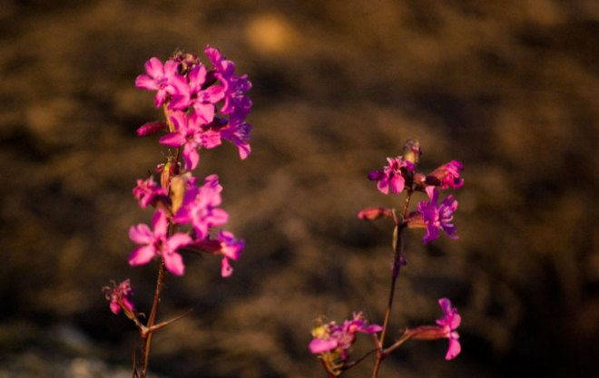 Lila blommor som växer på berget vid bryggan