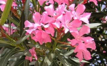Зокум (олеандър) Nerium oleander L.