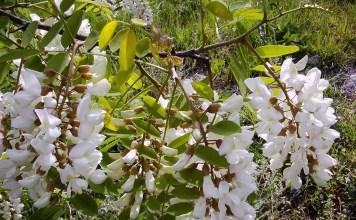 Бяла акация Robinia Pseudoacacia L.