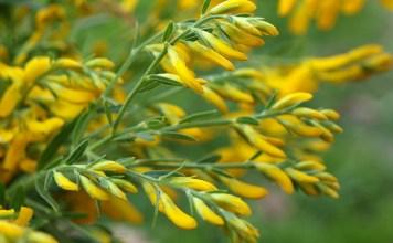Жълтуга багрилна Genista tinctorla L.