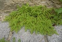 Изсипливче Herniaria Glabra