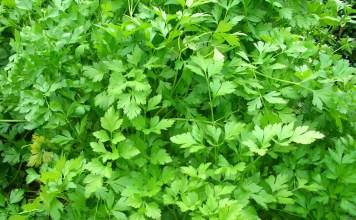 Магданоз (мерудия) Petroselinum crispum (Mill.) D.W.Hill (Petroselinum sativum Hoffm.)