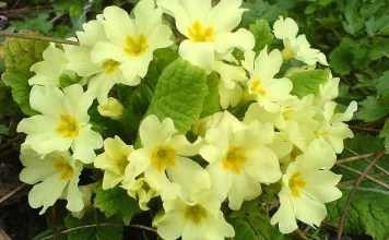Иглика Primula Officinalis