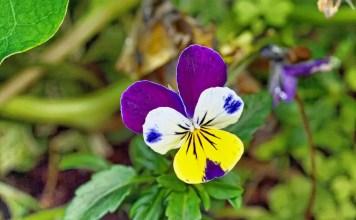 Трицветна теменуга Viola Tricolor