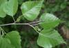 Бяла бреза Betula alba