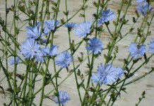 Синя жлъчка (цикория) Cichorium Intybus