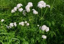Дилянка (валериана) Valeriana Officinalis