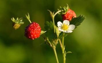 Горска ягода Fragaria Vesca