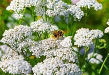 Бял равнец Achillea Millefolium