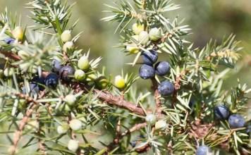 Обикновена хвойна Juniperus communis L.